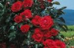 maggio, rosa, natura,sorriso,fertilità,gioia,crescita