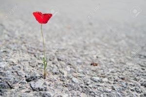 11726436-Un-fiore-singolo-papavero-rosso-che-cresce-attraverso-asfalto-Archivio-Fotografico